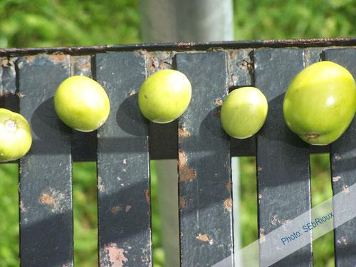 Tomates de mon jardins